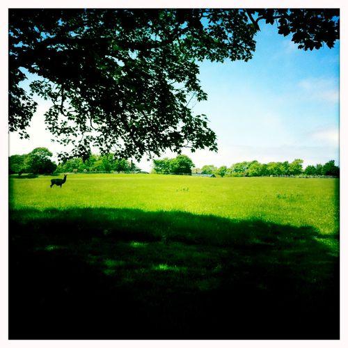 Llamafield